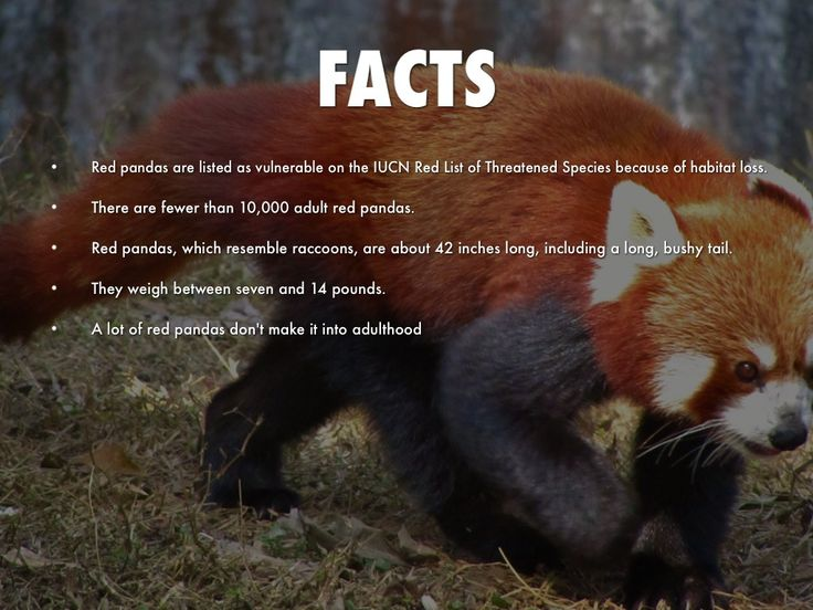red panda facts for kids - - Yahoo Image Search Results