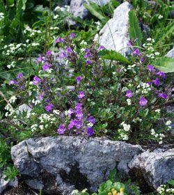 Acinos alpinus - Alpen-Steinquendel