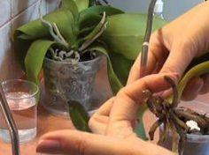 Mé kamarádce před očima umírala její orchidej. Řekla jsem jí o triku, který jí ji zachránil a krásně rozkvetla
