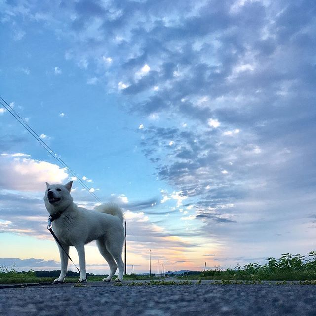 おはよん〜(^ェ^)〜 東の空と西の空の境い目 #北海道犬 #日本犬 #アイヌ犬 #犬 #白犬 #わんこ #愛犬 #笑顔 #犬バカ部 #和犬 #天然記念物 #犬散歩 #涼しい #初秋 #アウトドア #保護犬シェルター #殺処分ゼロ #お散歩好き #hokkaidoken #hokkaidoinu #Japaneseken #Japanesedog #ainuken #ainudog #Whiteinu #Likes #outdoor太陽さんが見たかったねぇー^ ^