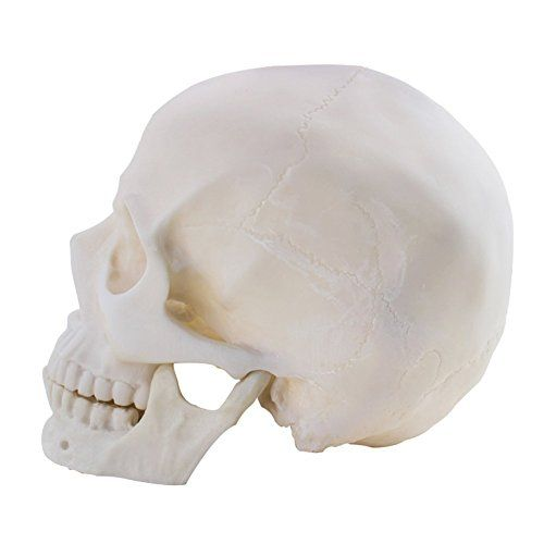 Life Size 1:1 Replica Realistic Human Skull Model Head Bone Model, Made with Resin  Made of resin  Full size 1:1  Greatly detailed  Perfect display piece  It is the perfect tool for professional teaching and study of human anatomy, and it also can be used art, decoration and so on