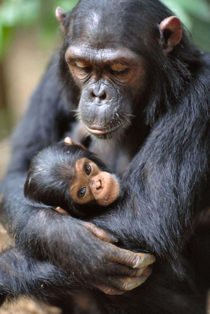 Chimpancé con su cría http://www.animalesomnivoros.es/mamiferos-omnivoros/