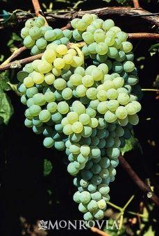 Vitis 'Himrod', vinranka. Gröna söta kärnlösa druvor. Odlas i växthus.