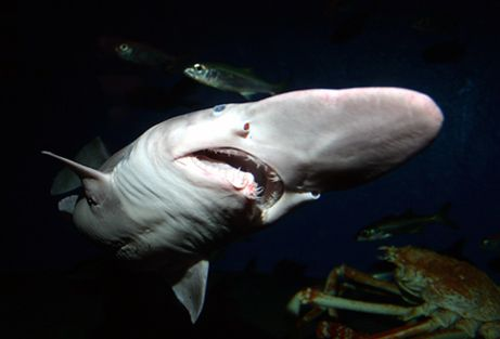 The goblin shark (Mitsukurina owstoni) is a deep water species that is rarely seen by humans. It is believed to be an ancient species even by shark standards. It has an unusually long snout, which you'd think would make it hard for this shark to eat, except that the goblin shark has one strange feature to compensate. It has jaws that can protrude out of its face, like the alien in the movie Alien.