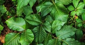 3 All-Natural, Easy-To-Find Cures For Poison Ivy (And Poison Oak) That Really Work