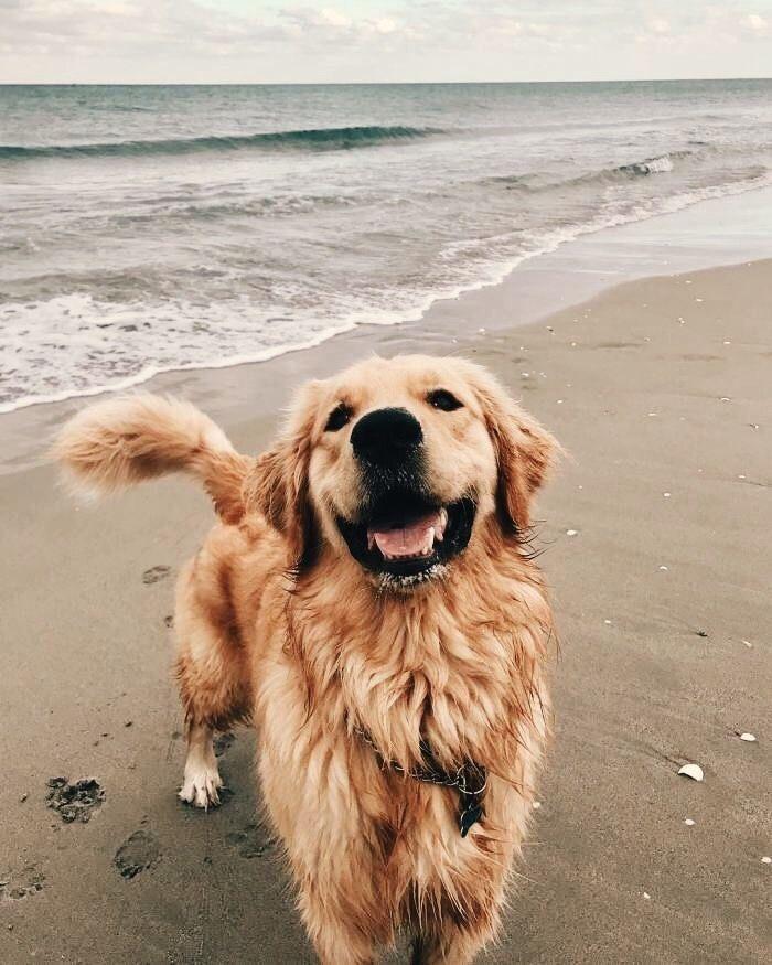 Happy Dog Beach Sand Sea Surf Ocean Pretty Blue Cute