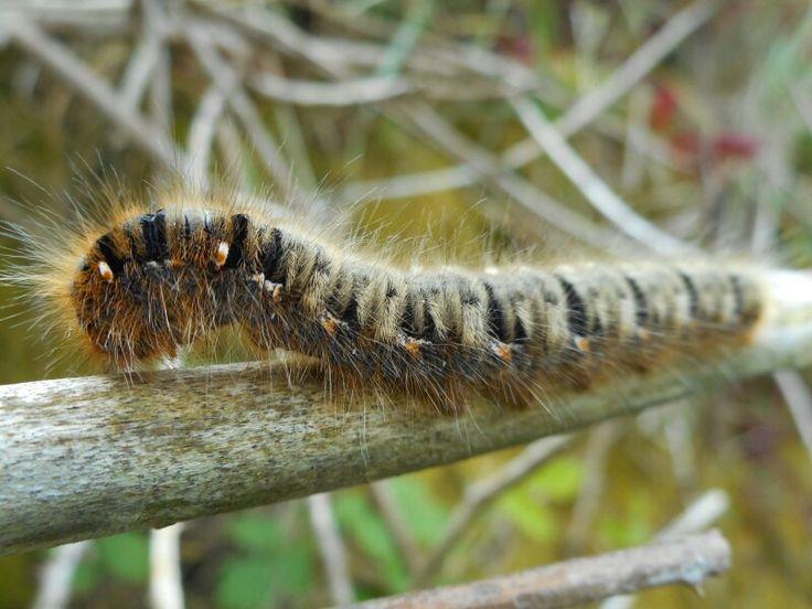 Moth caterpillar.  Knockadoon coast.  Co. Cork.