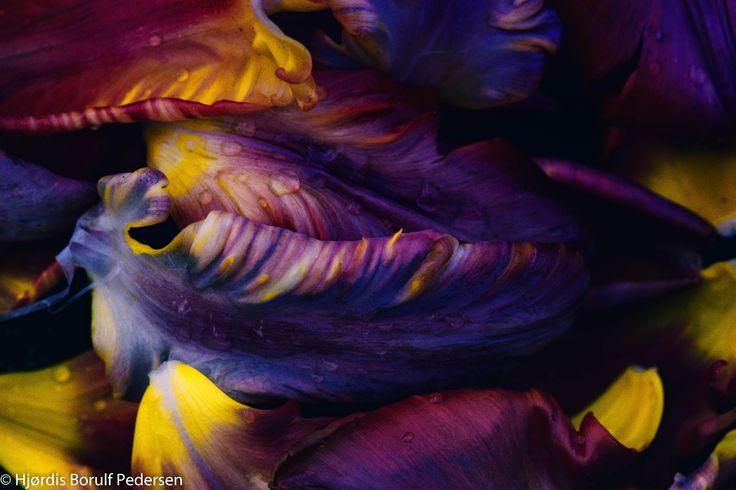 Tulip Autum - Tulip petals in afternoon light