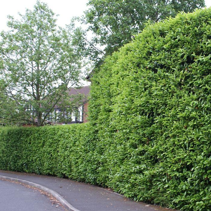 Blatthaltende Hecke Bäume \ Sträucher Bakker Outside - heckenpflanzen
