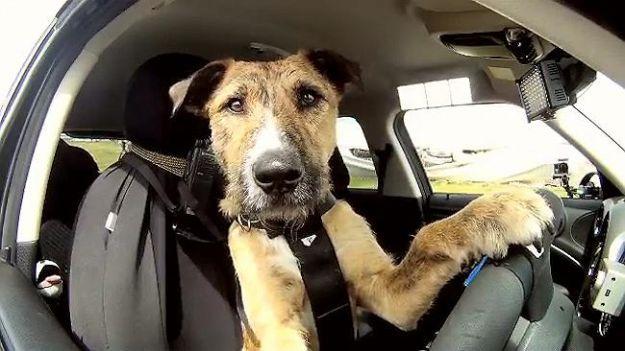 Le migliori appplicazioni per gli amanti dei cani! - http://www.baubaunews.com/i-consigli-di-baubaunews/le-migliori-appplicazioni-per-gli-amanti-dei-cani/ http://www.baubaunews.com/wp-content/uploads/2014/12/cane-guida-auto-porter-600x336.jpg