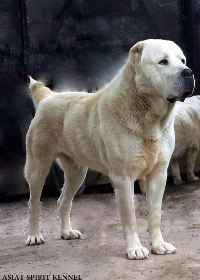 Central Asian Shepherd From Romania Asiat Spirit Fci Kennel