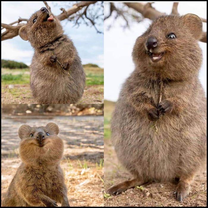 Quokkas are the cutest animals ever! | Cute animals, Happy animals, Quokka