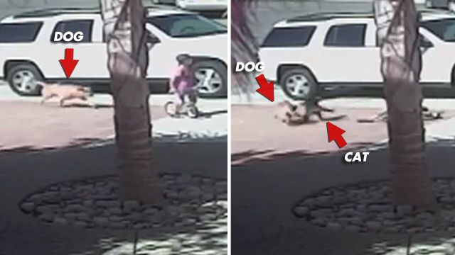 Hero Cat Saves Boy from Dog Attack [VIDEO]click on picture twice to see video! AMAZING CAT!