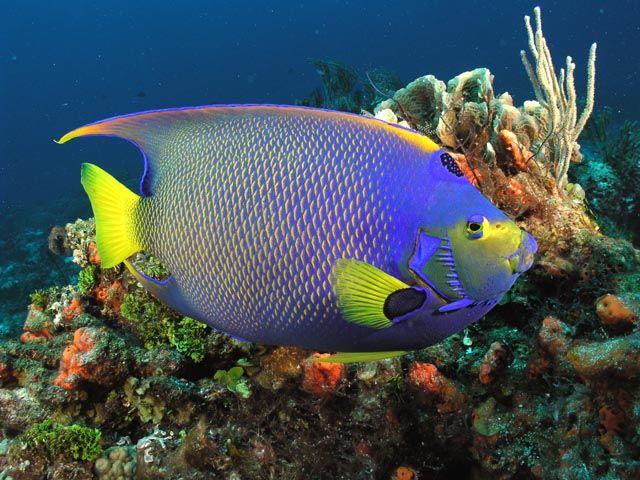 Queen angelfish | Fish | Pinterest