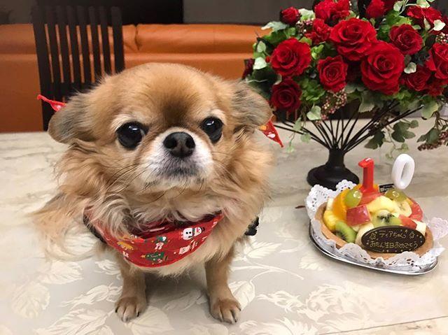. ティアちゃん10歳のお誕生日 おめでとう❤️ 本当にいい子で、自分を人間だと思い込んでる 2.3キロの小さなチワワのお姉さん。  世界一可愛くて大好きな私の家族♡ #1125 #犬#トイプードル#トイプー#4歳#チワワ#10歳 #シェリー#ティアラ #犬好きな人と繋がりたい  #わんちゃんとの生活  #愛犬家#愛犬#愛犬部#かおでか#二頭身#お人形 #ふわもこ部 #my#dog#toypoodle #chiwawa  #so#cute#happybirthday #10years  #sherry #tiara