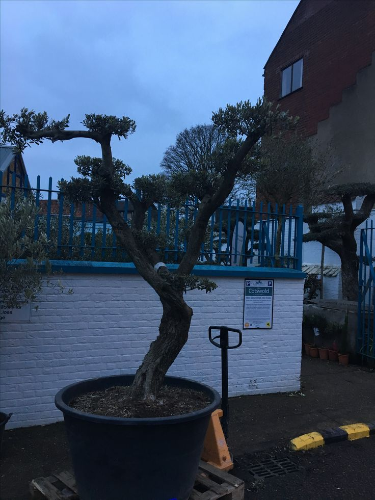 Best 25 pruning olive trees ideas on pinterest beauty for Pruning olive trees in pots
