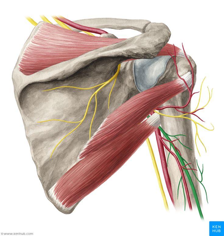 140 best Muscle, Vein, Artery, Nerve images on Pinterest | Anatomy ...