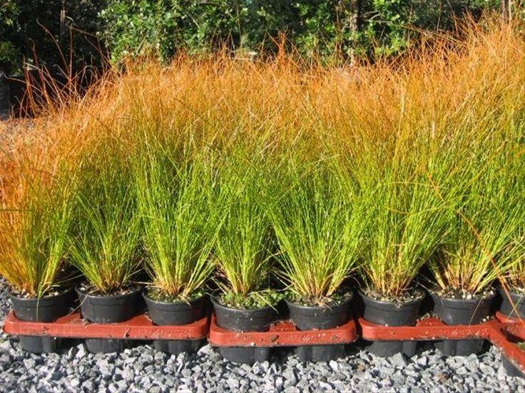 Siergrassen Oranje Zegge - Planten outdoor | Online tuincentrum BB-Tuinproducten