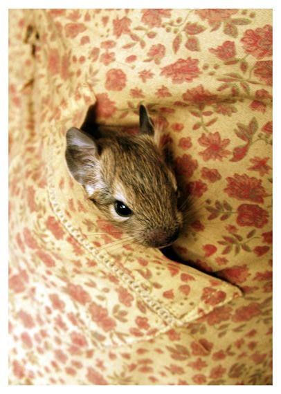 Animal photography: Degu by Lina Gavėnaitė, via Behance