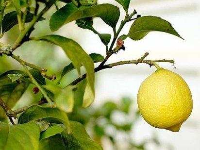 podas. poda limonero