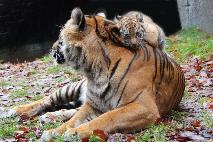 Mor og unge i Aalborg Zoo
