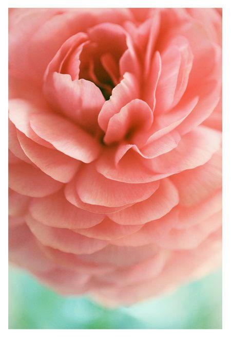 Photography - Flower Photograph - Nature Photography - Pink -  Ranunculus - Samba -  Spring - Original Fine Art Photograph