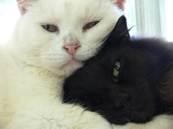 Encantadoras imágenes de gatos blancos y negros juntos como en un yin yang