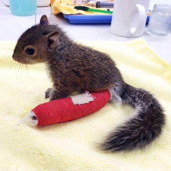 adorable baby squirrel has a broken leg