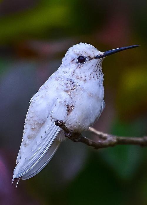 Leucistic White Hummingbird - by Richard Marquardt