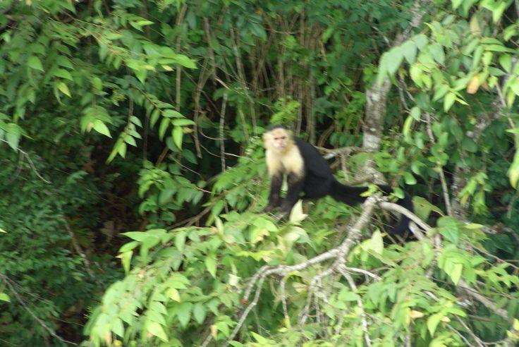 Mono Cariblanco - Panama