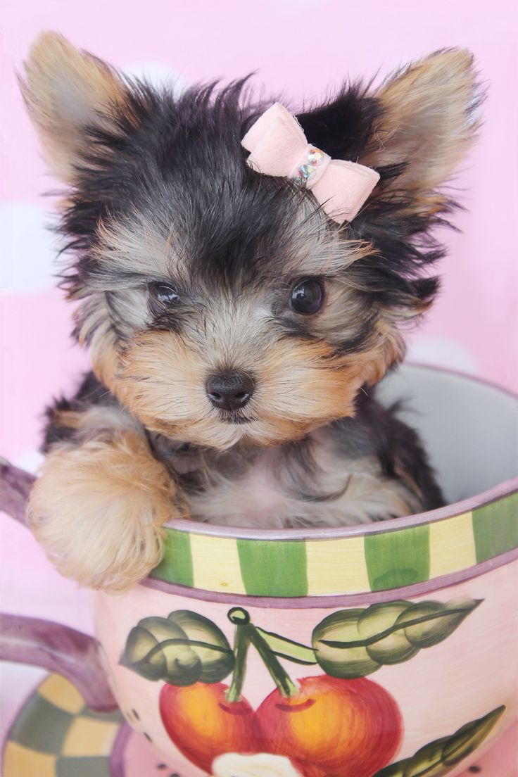 Cute animals for sale - Yorkie Puppies For Sale At Teacups Puppies