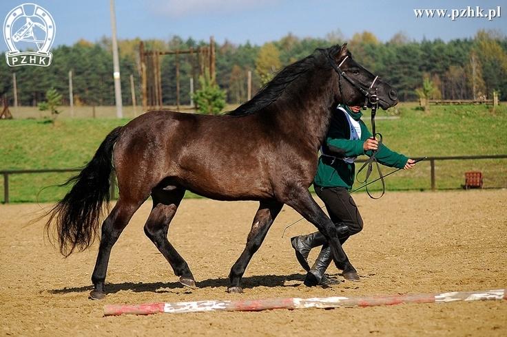 Jantarek. Hucul horse