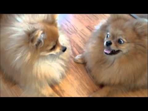 pomeranian puppy sneezing 239 best the quot pom quot squad images on pinterest pomeranians 2000