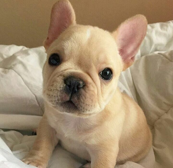 French Bulldog Puppy For Sale In East Haven Ct Adn 50182 On