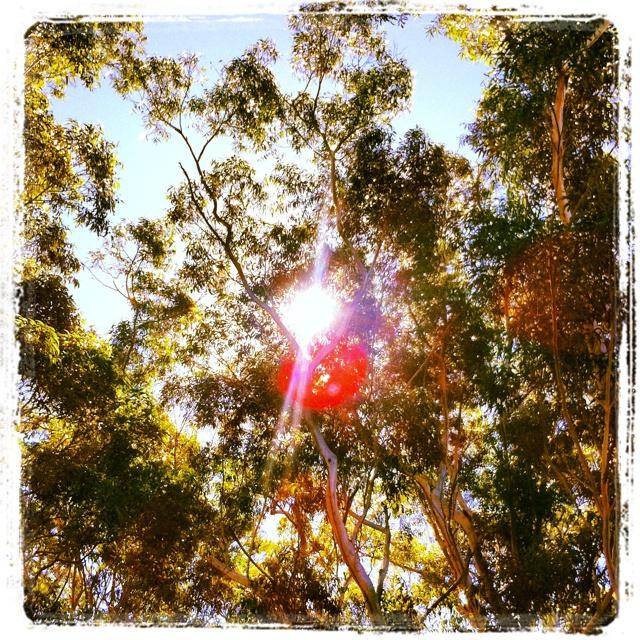 I love big gum trees...