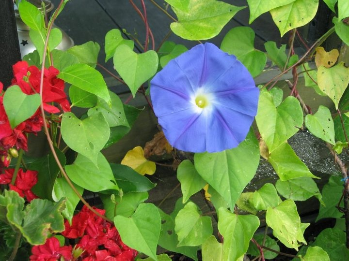 similar results morning glory heavenly blue morning glory heavenly ...