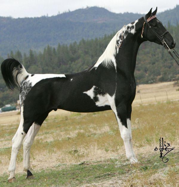 Pinto Saddlebred Stallion Spotz Sensation   Black and ...