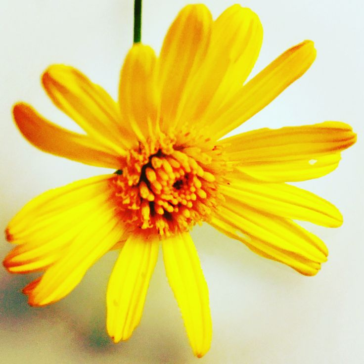 With all this #Sydney #autumn #rain 🌧, and mild #weather, the #flower #gardens 🌼🌺🌸 are going off ... #flowers #calendula #marigolds #nature #MotherNature #Australia
