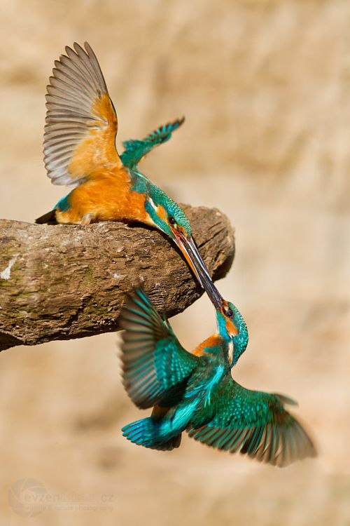 Titles : Kissing humming birds  Photo by Evzen Takac  but I think they are male and female Kingfisher (female on branch) but still a fabulous image.