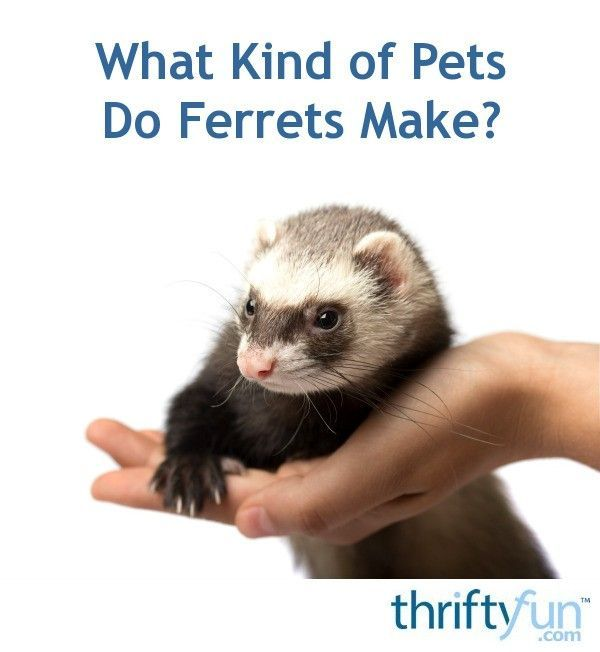 What Kind Of Pets Do Ferrets Make In 2020 Ferret Pets Unusual