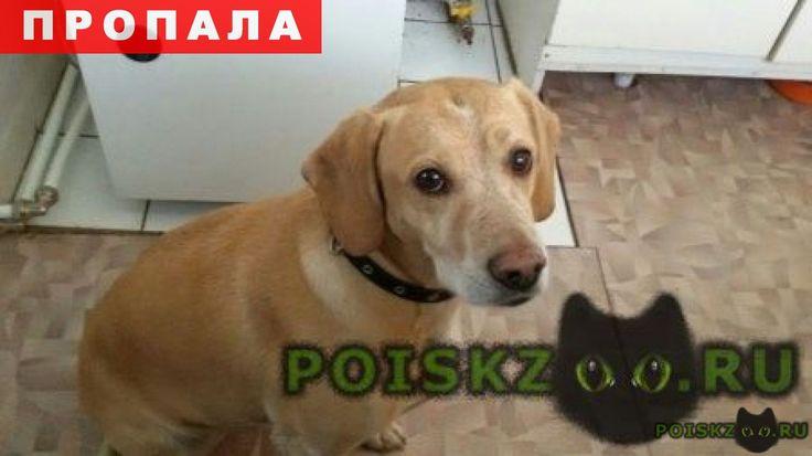 Пропала собака кличка дана г.Шимск http://poiskzoo.ru/board/read31523.html  POISKZOO.RU/31523 ..го сентября в пос. Шимск пропала собака: метис, похожа на породу риджбек, но окрас как у золотистого ретривера, очень ласковая, скорее всего чего-то испугалась и убежала. Могла убежать в сторону Новгорода. Помогите найти собаку! Просьба нашедших звонить по телефону. Елена.   РЕПОСТ! @POISKZOO2 #POISKZOO.RU #Пропала #собака #Пропала_собака #ПропалаСобака #Шимск