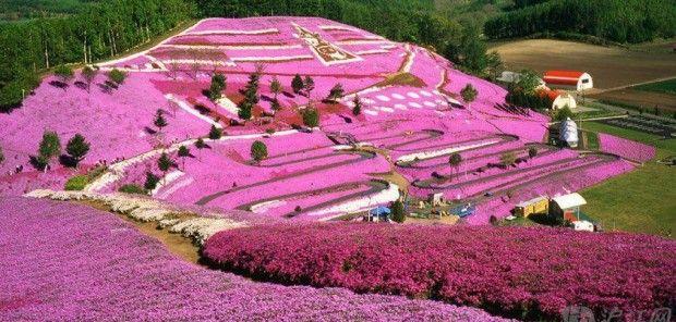 Japan, Spring flowers On a Hillside, Hokkaido