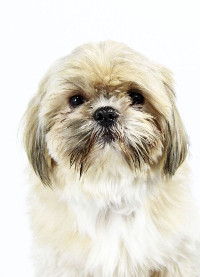 Shih Tzu Dog For Adoption In St Louis Park Mn Adn 751495 On