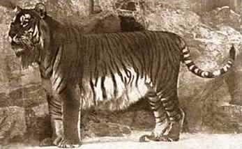 Extinct Caspian Tiger at the Berlin Zoo, 1899