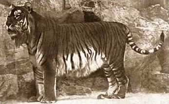 The Caspian Tiger, the last confirmed reports of which date back to before the 1950s.  Largely identical to the Siberian Tiger, it yet had its own range & habitat. Found in the sparse forest & river basins of Central & Western Asian, they succumbed to intense hunting by the Russian army, who were told to exterminate it in a huge land reclamation programme in the early 1900s. Farmers followed, clearing forestland & the loss of their primary prey, the boar, spelled its demise.