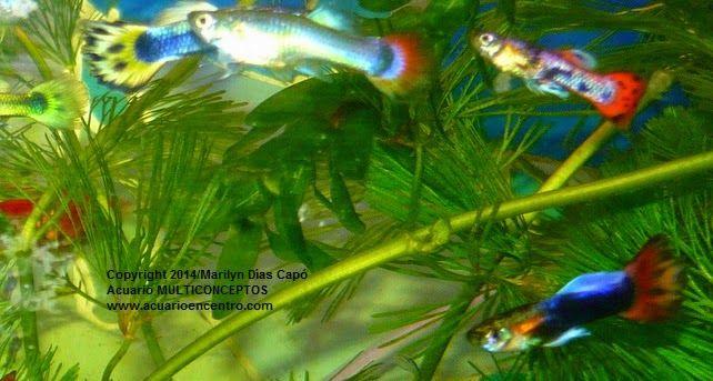Peces tropicales de agua dulce lebistes poecilia for Peces agua dulce