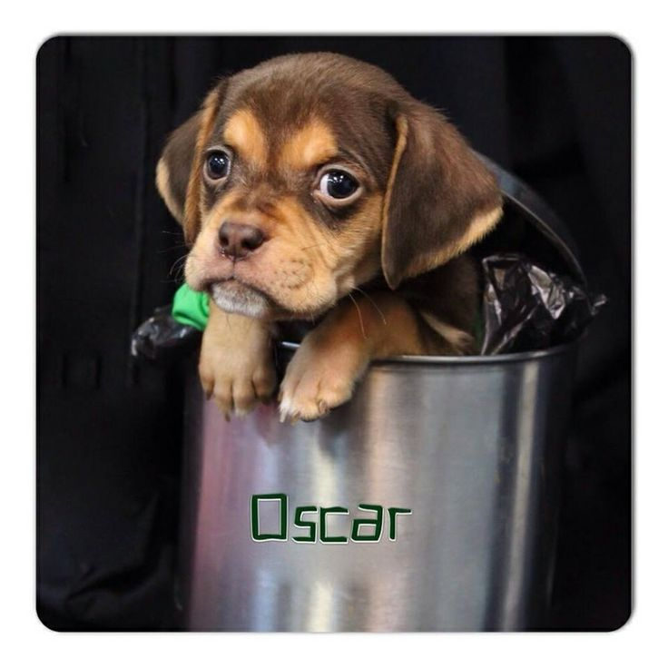 The Sesame Street LitterI'm Oscar, a 5 week old pug/beagle mixTo be considered for adoption, you must fill out an application at http://www.poetanimalrescue.orgThank you for considering rescue!!