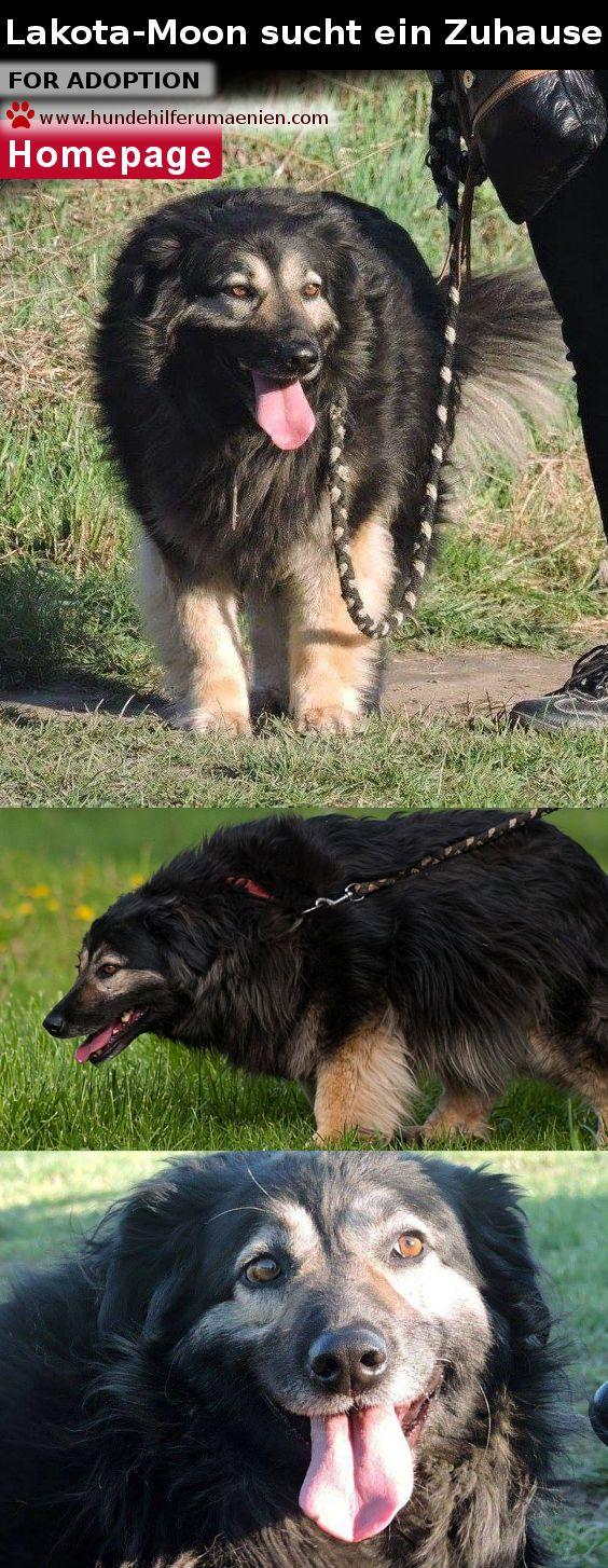 """Hundevermittlung Rumänien Lakota-Moon sucht ein Zuhause ♥ Dog adoption Die hübsche Lakota hat im Winter an Alina Ghicas """"Tür geklopft"""". Sie war völlig ausgefroren und hatte Hunger. Alina konnte natürlich diesem herzzerreissenden Blick nicht widerstehen und hat die Maus bei sich aufgenommen. Inzwischen lebt Lakota in einer der Hundegruppen von ANU. Lakota wird von Alina als sehr freundlich und menschenbezogen beschrieben. Allerdings ist sie eine Alphahündin und sollte in erfahrene Hände, die…"""