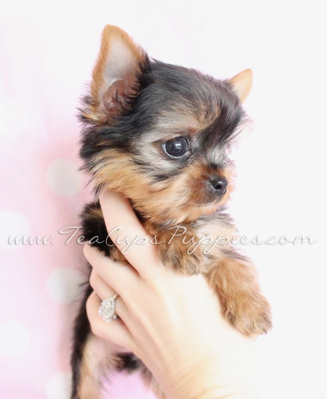 teacup yorkie poos for sale best 10 yorkie poo for sale ideas on pinterest 2883