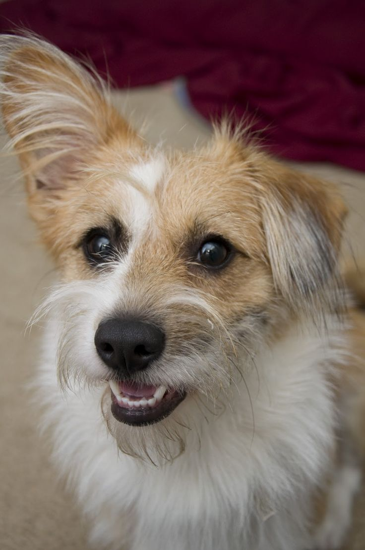 Meet adorable Chewy, a Corgi/Terrier mix. I'm in love!